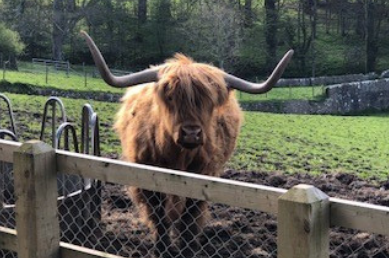 Highland Cattle at Tapeley Park
