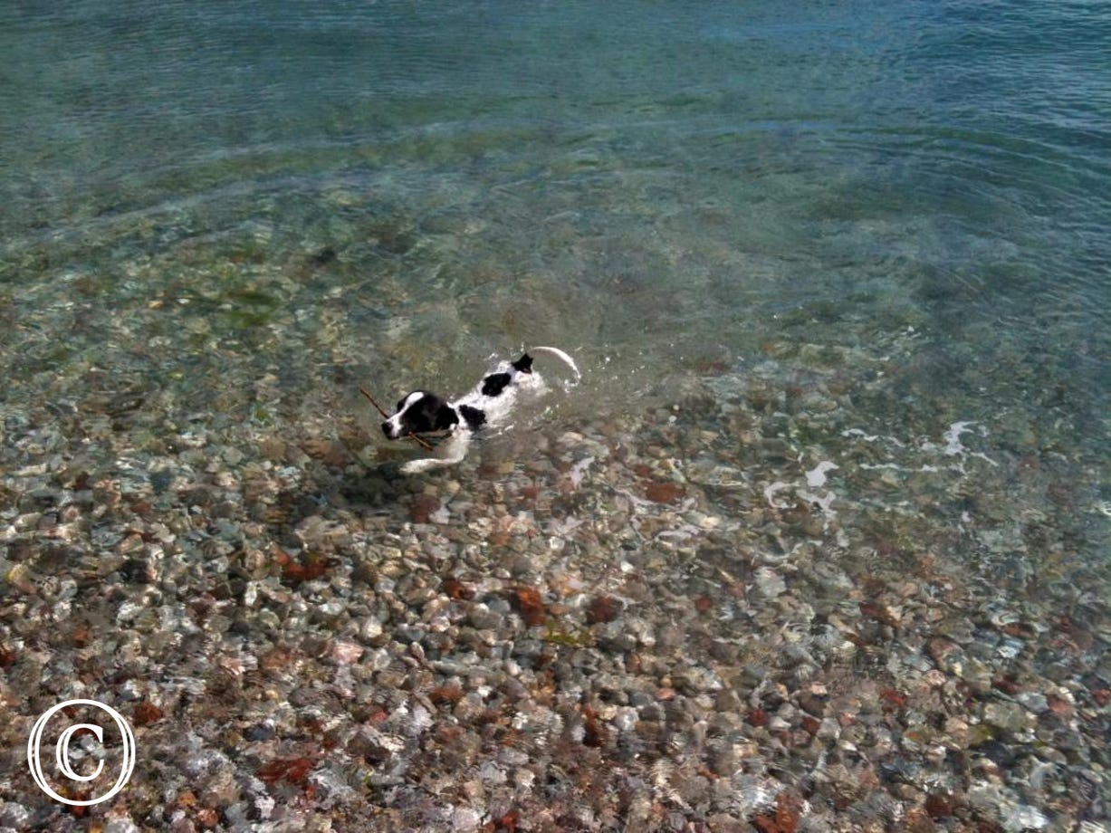 Perfect for lovely furry best friends. Pet in sea water with stick at Paignton beach