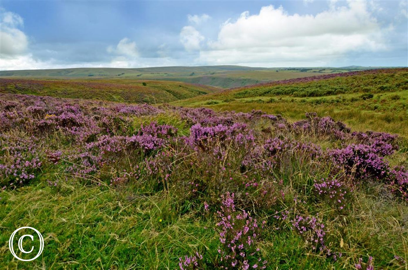 Look out for Exmoor ponies and deer on the heather clad moorland close by